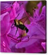 Hummingbird Moth On Azalea Canvas Print