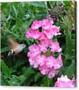 Hummingbird Moth On Pink Verbena Canvas Print