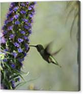 Hummingbird Sharing Canvas Print