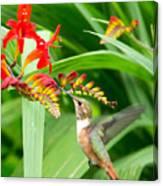 Hummingbird Snacking Canvas Print