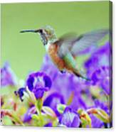 Hummingbird Visiting Violets Canvas Print