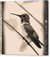 Hummingbird With Old-fashioned Frame 3 Canvas Print