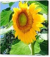 Humongous Sunflower Canvas Print