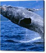Humpback Full Breach Canvas Print