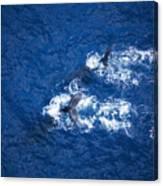 Humpback Whales Aerial Canvas Print