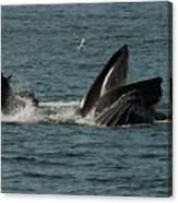 Humpback Whales Megaptera Novaeangliae Canvas Print