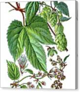 Humulus Lupulus, Common Hop Or Hop Canvas Print