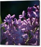 Hungarian Lilac 5 Canvas Print