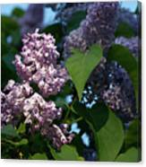 Hungarian Lilac 6 Canvas Print