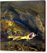 Hungry Carp Canvas Print