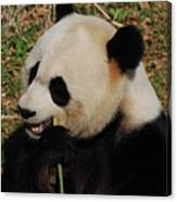 Hungry Chinese Giant Panda Bear Eating Bamboo Canvas Print