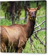 Hungry Elk Canvas Print
