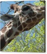 Hungry Giraffe Canvas Print