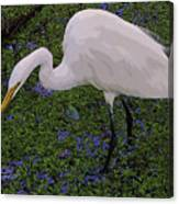 Hungry Great Egret Canvas Print