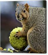 Hungry Squirrel 1 Canvas Print