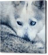 Husky Curled Up Canvas Print