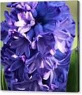 Hyacinth Highlights Canvas Print