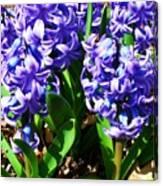 Hyacinths Canvas Print