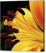 Hybrid Lily Canvas Print
