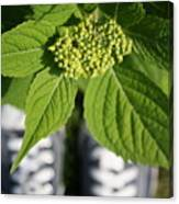 Hydrangea And My Sneakers Canvas Print