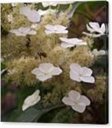 Hydrangea. Cream-white. Canvas Print