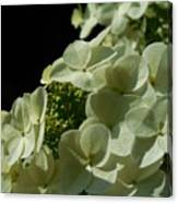 Hydrangea Formal Study Portrait Canvas Print