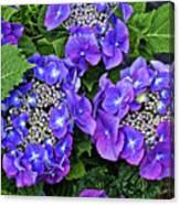Hydrangea, Macrophylla Teller Canvas Print