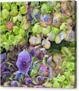 Hydrangea  One Canvas Print