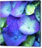 Hydrangea - Purple And Green Canvas Print