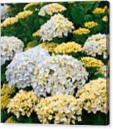 Hydrangeas Blooming Canvas Print