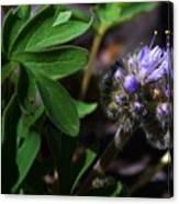 Hydrophyllum Capitatum Canvas Print