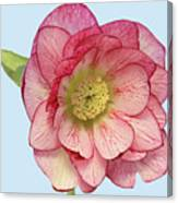 I Am Christmas Rose Canvas Print