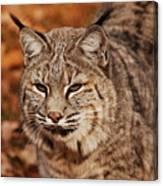 I Am One Good Looking Bobcat Canvas Print
