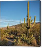 I Am The Tallest Saguaro Canvas Print