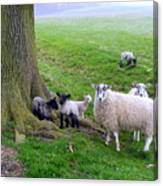I Know My Sheep Canvas Print