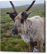 I Think It Might Reindeer Canvas Print