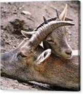 Ibex Mother And Son Canvas Print