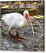 Ibis At Corkscrew Swamp Canvas Print