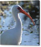 Ibis Blanco Canvas Print