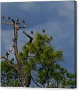 Ibis In The Pines - Debbie May Canvas Print