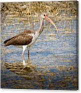 Ibis In The Rough Canvas Print