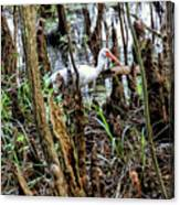 Ibis In The Swamp Canvas Print