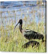 Ibis Looking Around Canvas Print
