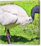 Ibis Looking For Food Canvas Print