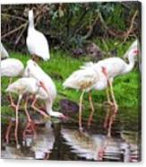 Ibis Reflections Canvas Print