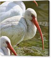 Ibis Three Canvas Print