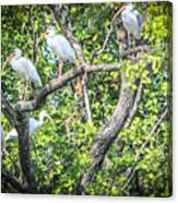 Ibises In A Tree Canvas Print
