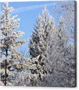 Ice Covered Pine Trees Canvas Print