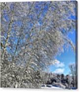 Ice Laden Birches Canvas Print