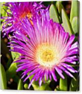 Ice Plant Blossom Canvas Print